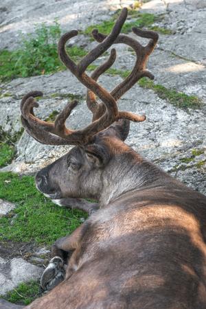 sweden resting: Resting reindeer with big antlers in the shadows. Sweden