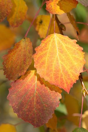leafs: Yellow aspen leafs during autumn, closeup. Sweden