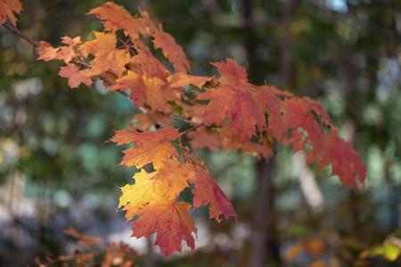 leafs: Orange autumn leafs. Sweden Stock Photo