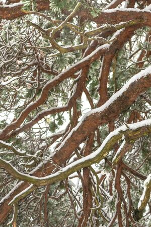 below: Spruce tree from below with snow covered branches. Sweden