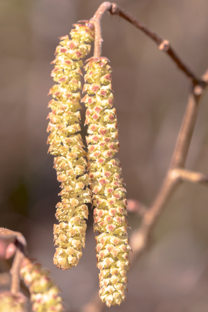 Highly allergenic pollen from the hazel catkins in early spring. Closeup Stock Photo