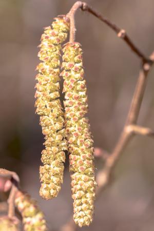 Pollen hautement allergène des chatons noisetiers au début du printemps. Fermer