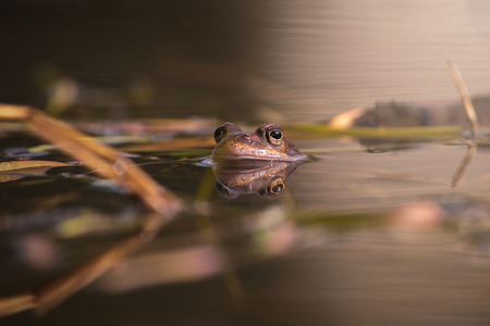 Common frog at mating season during spring, head over water with reflections in warm afternoon light. Sweden Editorial