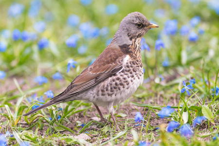 Fieldfare or Turdus pilaris feeding in a green field with blue Scilla bifolia flowers. Sweden
