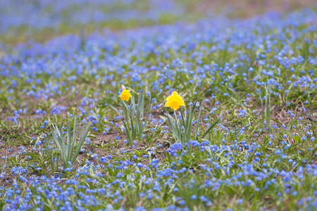 Yellow daffodil on a field of blue scilla during spring. Sweden Stock Photo