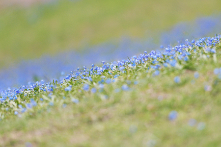 Field with blue Scilla bifolia flowers with short depth of field. Sweden