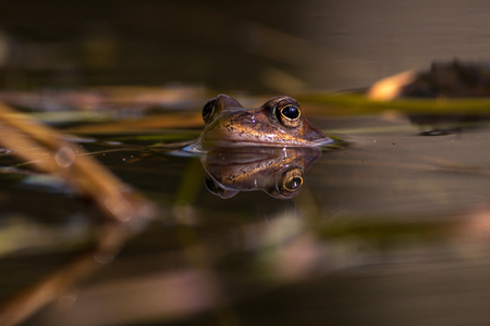Common frog at breeding season during spring, head over water with reflections in warm afternoon light. Sweden Stock Photo