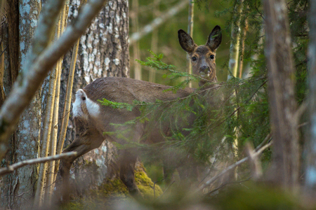 Deer looking through the foliage in the forest, on high alert