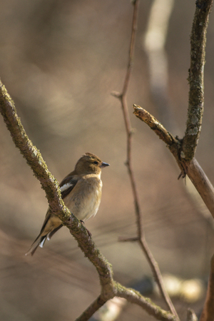 Female Common chaffinch or Fringilla coelebs perched on a branch. Sweden Stock Photo
