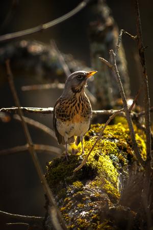 throttle: Fieldfare or Turdus pilaris walking on a sunlit moss covered branch. Sweden