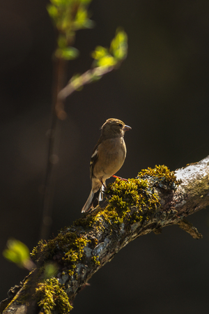 Female Common chaffinch or Fringilla coelebs looking for building materials for the nest. Sweden