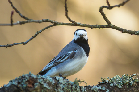 sweden resting: Wagtail or Motacilla alba looking at the viewer. Sweden Stock Photo