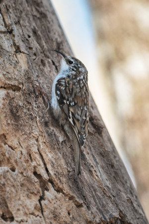 Common treecreeper or Certhia familiaris on its way upward a treetrunk looking for food. Sweden