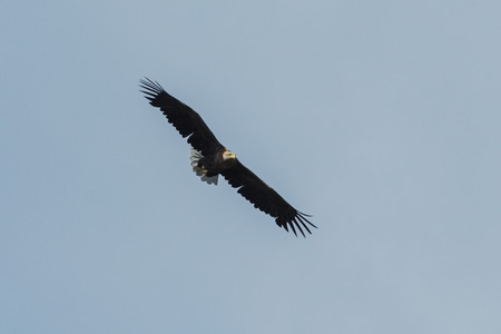 Sea eagle flying in the sky, circling for prey. Sweden Stock Photo