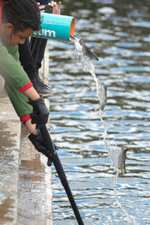 salmo trutta: STOCKHOLM, SWEDEN - MAY 8, 2017: Annual release of young brown trout or Salmo trutta in Strommen. Stockholm