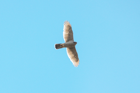 Falcon flying in the sky, circling for prey. Sweden
