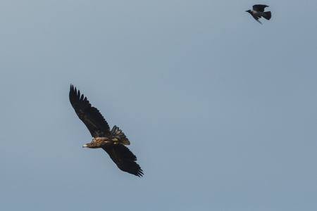 Sea eagle flying in the sky chased by a crow, circling for prey. Sweden