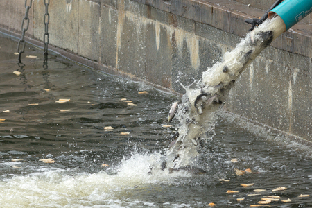 STOCKHOLM, SWEDEN - MAY 8, 2017: Annual release of young brown trout or Salmo trutta in Strommen. Stockholm