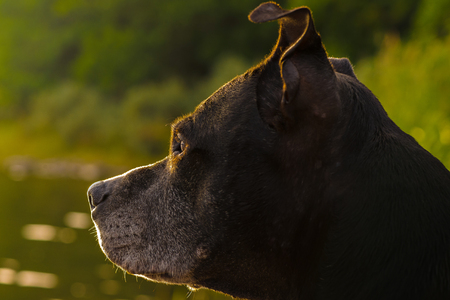 Sideview of an Amstaff looking intresting at something in eveninglight. Sweden