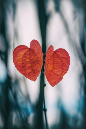 Heartshaped red leaves at a Katsura tree during fall. Sweden
