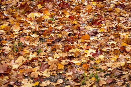 Ground covered with wet colorful maple leaves during autumn or fall. Sweden