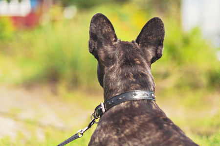 Ears of an french bulldog from behind waiting for the owner that left a moment ago. Leach 写真素材
