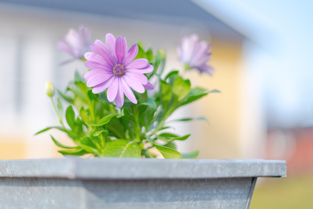 Pink flower in a aluminium pot at the entrance to a yellow building. Bright and fresh Stockfoto