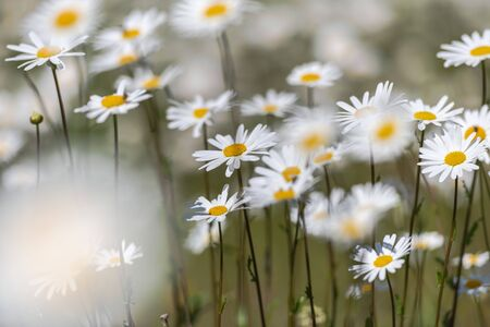 White moon daisys in a summer grass field during a sunny day. Sweden