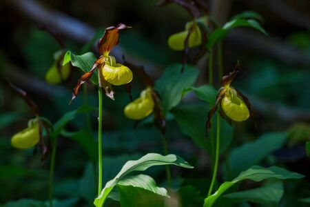 Rare Ladys slipper orchid in its natural habitat in the forests of Roslagen. Sweden