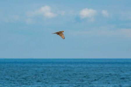 Bird of pray flying away from seagulls over the sea hoizon. Grisslehamn, Sweden Stock Photo