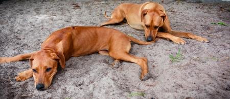 ridgebacks: Rhodesian Ridge-backs resting in sand