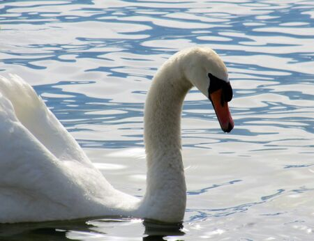 The Swan in the lake. Stock Photo
