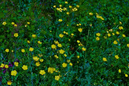 Green meadow with yellow flowers. Italy 2017