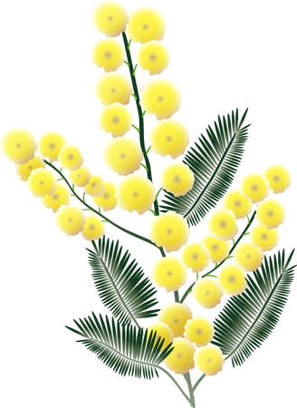 mimosa: A bunch of Mimosa blossoms isolated on white background