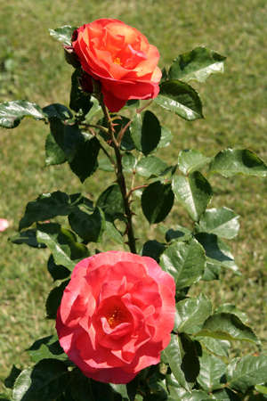 Red roses in a rose garden photo