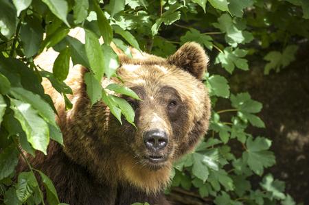 bear in the innsbruck zoo