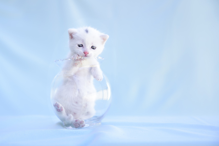 Soft and fluffy white kitten plays inside the transparent glass vase