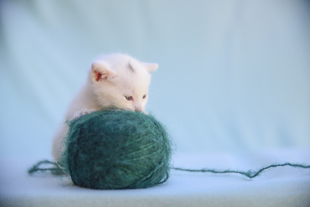 lovable and fluffy white kitten plays with a ball of green wool