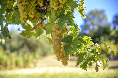 Vineyards with clusters of white grapes for the production of wine.Harvest in a sunny morning in the fall. Italy,