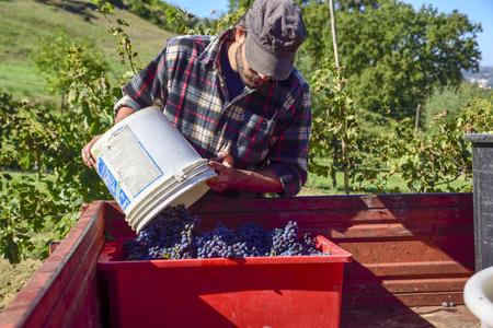 포도 수확: 흰색 머스트와 나선형 나사가 있는 와인 프레스