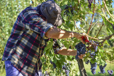 young farmer man at work during harvest in Italy on a sunny autumn day. Red grape vineyards for the production of wine.
