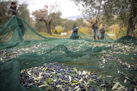Italia. Agricultores trabajando en la recolección de aceitunas en el campo Foto de archivo