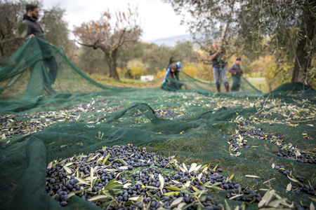 Italy. Farmers at work in harvesting olives in the countryside