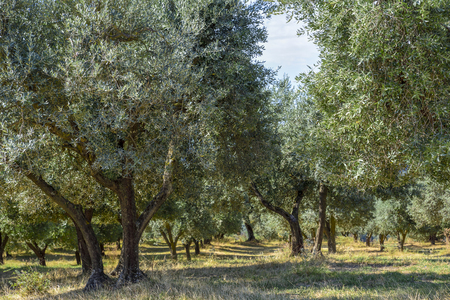 field of olive trees in central Italy. Umbria