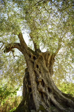 centenary olive tree, cultivation in Umbria, Italy