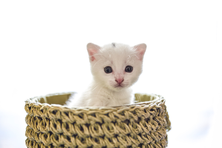tender and fluffy white kitten inside the wicker basket