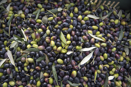 close-up of freshly picked olives