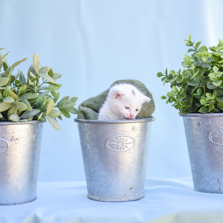 lovable and fluffy white kitten inside the vase among green plants Stock fotó