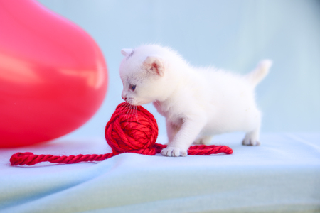 lovable and fluffy white kitten plays with a ball of red wool