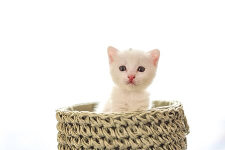 tender and fluffy white kitten inside the wicker basket
